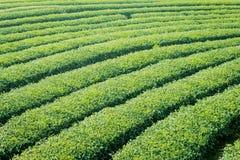 Teeplantage in Nord-Thailand Stockfoto