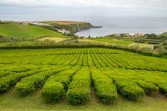 Teeplantage in Porto Formoso auf der Nordk?ste der Insel von Sao Miguel in Azoren auf einem Hintergrund des Ozeans und des blauen stockfotografie
