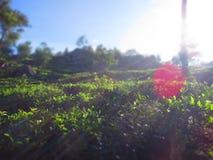 Teeplantage in Sri Lanka am Morgen Stockbilder