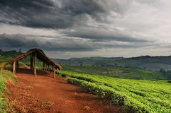 Teeplantage in Uganda Lizenzfreies Stockfoto