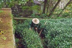 Teeplantage und alte Frau arbeiten am Garten stockbilder