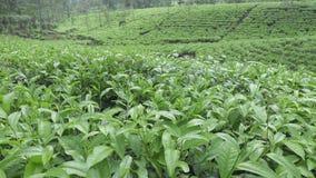 Teeplantage in Wonosobo Indonesien, Java stock video footage