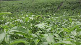 Teeplantage in Wonosobo Indonesien, Java stock footage