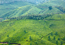 Teeplantagen Lizenzfreies Stockfoto