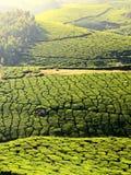 Teeplantagen Lizenzfreie Stockbilder