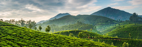 Teeplantagen Stockfotografie