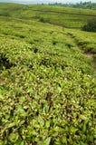 Teeplantagen Lizenzfreie Stockfotos