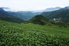 Teeplantagen Stockbild
