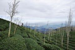 Teeplantagen Stockfotos