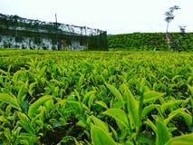Teeplantagen lizenzfreie stockfotografie