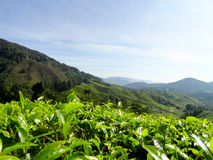 Teeplantagen Brinchang Cameron Highlands Malaysia Stockfotografie