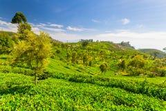 Teeplantagen-Grünlandschaft in Sri Lanka Stockfotografie