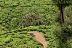 Teeplantagen in Indien Stockbild