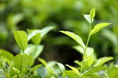 Teeplantagen in Kandy in Sri Lanka Stockbilder