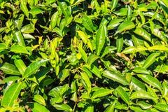 Teeplantagen in Munnar, Kerala, Indien Stockbild