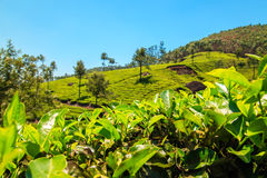 Teeplantagen in Munnar, Kerala, Indien Stockfotos