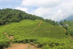 Teeplantagen in Puncak, Indonesien Lizenzfreie Stockfotos