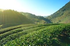 Teeplantagenfeld im Tal Lizenzfreies Stockfoto