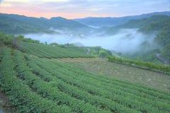 Teeplantagenfelder an der Dämmerung mit Morgen nebeln im entfernten Tal, in Pingling, Taipeh, Taiwan ein Lizenzfreie Stockfotografie