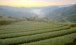 Teeplantagenfelder an der Dämmerung mit Morgen nebeln im entfernten Tal, in Pingling, Taipeh, Taiwan ein Stockbild