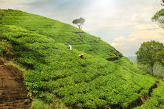 Teeplantagenhügel Stockfotos