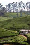 Teeplantagenhügel Lizenzfreie Stockfotografie