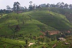 Teeplantagenhügel Stockbilder