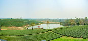 Teeplantagenlandschaft an Tee Choui Fong, Chiang Rai Thailand Stockfotos