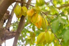 Teerapfelfrucht Lizenzfreies Stockbild