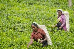 Teesammeln im Sri- Lankahügelland Lizenzfreie Stockfotos