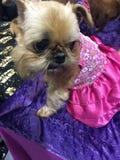 Teetasse-Hund gekleidet in der fantastischen Kleidung lizenzfreie stockbilder