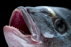 Teeth. Macro of a dorada head - delicious fish, menacing teeth royalty free stock photography