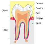 Teeth. Art illustration: teeth structure with words in english Royalty Free Stock Photography