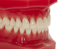 Teeth. Dental Model of Teeth Stock Image