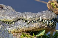 Teeth Of An American Alligator royalty free stock image
