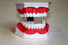 Teeth anatomical model Stock Photos