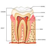 Teeth Anatomy. Illustration of anatomy of teeth with labeling Royalty Free Stock Images