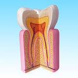 Teeth anatomy. 3D Illustration of teeth anatomy Royalty Free Stock Images