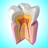 Teeth anatomy stock illustration