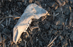 Teeth animal skull. On the ground Royalty Free Stock Photo