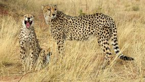 Teeth of a cheetah. A little bit bored Royalty Free Stock Photos