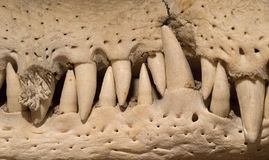 Teeth of a crocodile jaw Stock Photo