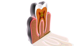 Teeth cross section Royalty Free Stock Photos