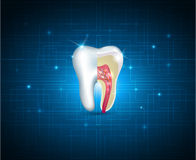 Teeth cross section beautiful illustration Stock Photo