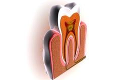Teeth cross section Stock Photos
