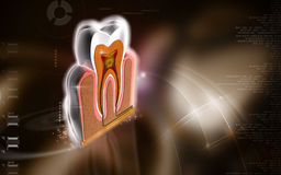 Teeth cross section. Digital illustration of  teeth cross section   in  colour  background Stock Photography