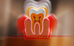 Teeth cross section Royalty Free Stock Photo
