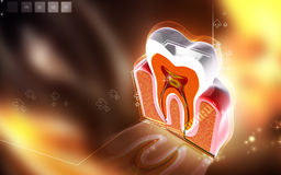 Teeth cross section Royalty Free Stock Image
