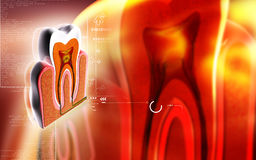 Teeth cross section Royalty Free Stock Photography