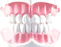 Teeth dental model. Royalty Free Stock Photos